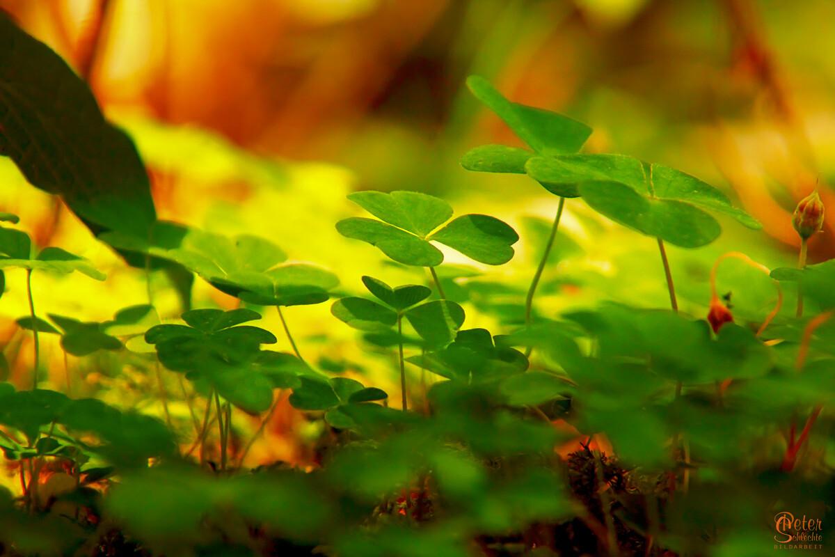 Kleeblätter im Wald.