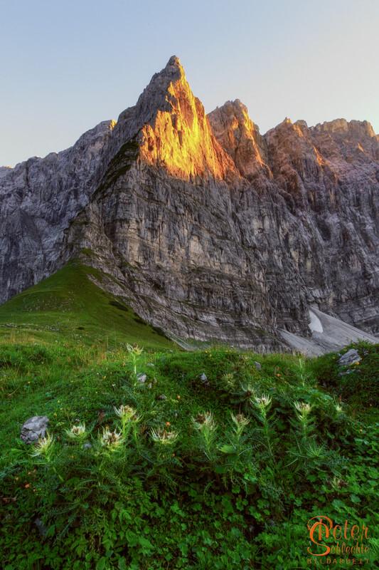 Disteln im Hohljoch oberhalb des Enger Grund im Karwendel.