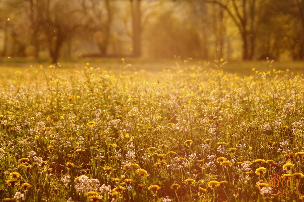 Blumenwiese im späten Nachmittagslicht.