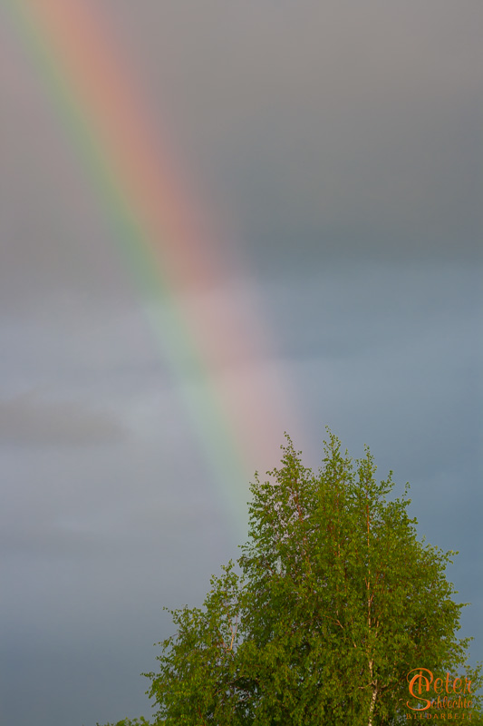 Baumspitze mit Regenbogen.