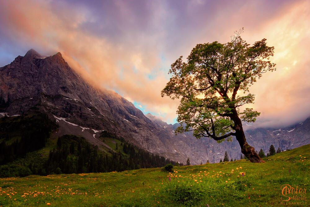 Ahornbaum vor den Karwendelwänden im Enger Grund. Links das Spritzkarspitz.