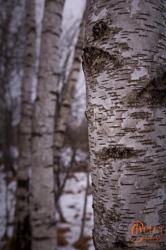 Detailansicht von einem Birkenstamm.