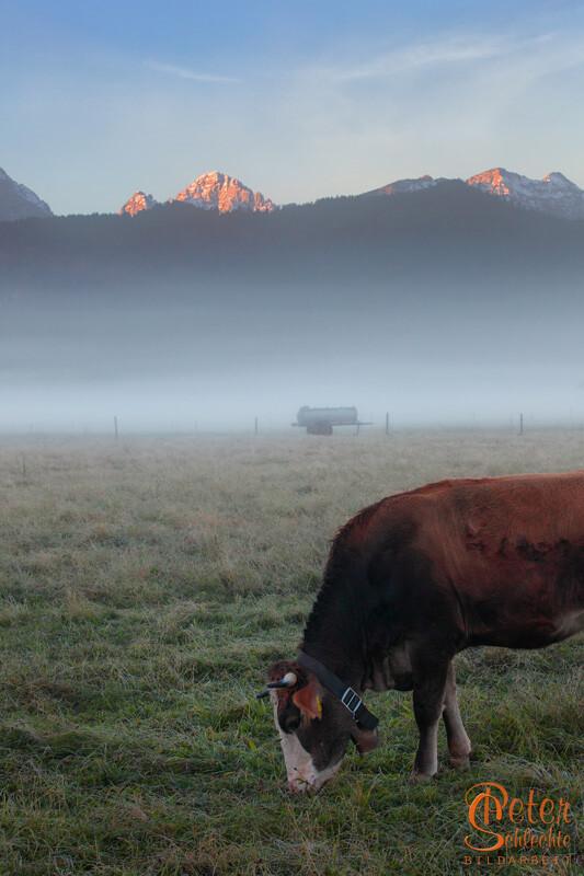Halbe Kuh zum Sonnenaufgang in der Nähe von Schwangau.