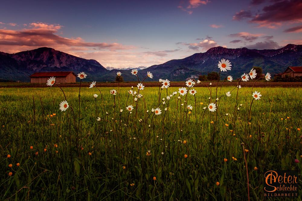 Blumen im Großweiler Moor mit Blickrichtung Herzogstand und Setzberg.