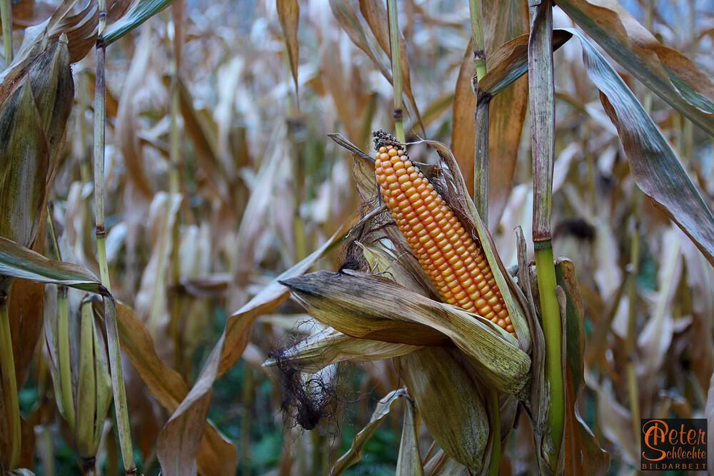 Erntereifer Maiskolben in typischen Novemberlicht.